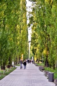Very popular poplars