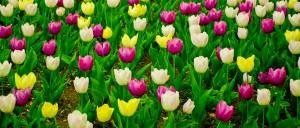 leuven_tulips